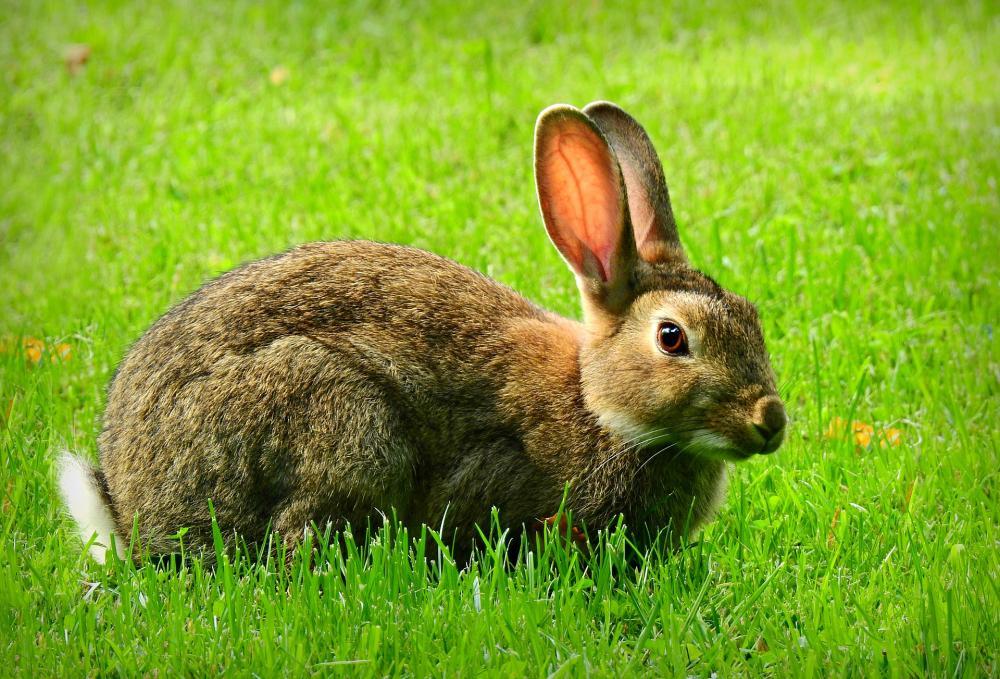 Poljski zajec